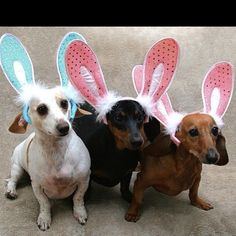 Easter Doxies