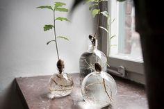 Grow your own acorn into an oak. Odla ekollon i vas glas. Ekollonvas. Marmor fönsterbräda.