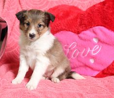 💛🐶👀Are you looking for a friend to brighten your life? One of these #adorable #ShetlandSheepdog puppies would love to be that friend. They are known for their #gentle and #sweetpersonalities. #Charming #PinterestPuppies #PuppiesOfPinterest #Puppy #Puppies #Pups #Pup #Funloving #Sweet #PuppyLove #Cute #Cuddly #Adorable #ForTheLoveOfADog #MansBestFriend #Animals #Dog #Pet #Pets #ChildrenFriendly #PuppyandChildren #ChildandPuppy #LancasterPuppies www.LancasterPuppies.com Sheltie Puppies For Sale, Dogs And Puppies, Mini Shetland, Sheep Dog Puppy, Shetland Sheepdog Puppies, Lancaster Puppies, Animals Dog, Mans Best Friend, Puppy Love