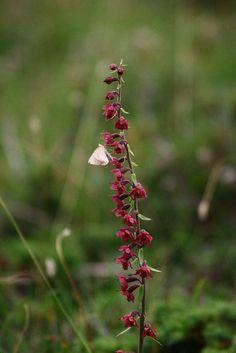 Epipactis atrorubens & farfallina pronube - Bruinrode wespenorchis