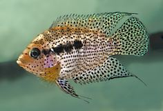 """Archocentrus spinosissimus - ~6"""" cichlid from Guatemala, related to the convict cichlid. Relatively peaceful though quite aggressive when spawning"""