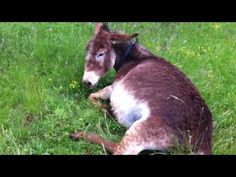 magareca - donkey posla: donkey is giving birth