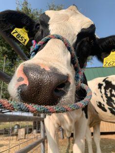 Cute Cows, Adorable Animals, Farm Life, Dream Cars, Dorm, Goats, Life Is Good, Poster, Creatures