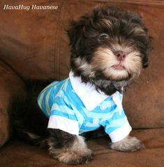 The cutest havanese puppies. Havanese Puppies For Sale, Cute Baby Animals, Poodle, Cute Babies, Photo Galleries, Gallery, Dogs, Dapper, Honey