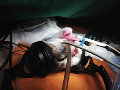 Cats relax to the sound of music - http://scienceblog.com/77546/cats-relax-to-the-sound-of-music/