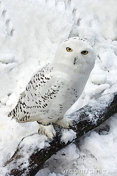 Snowy Owl in Snow - by Chris Moncrieff [dreamstime]
