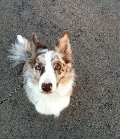 Rosey - Red Merle Border Collie