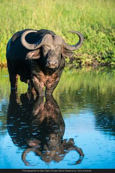 A buffalo bull admires his reflection in the pan in front of Selati camp