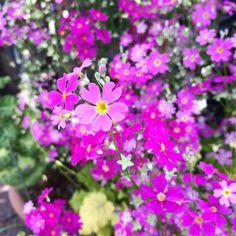 サクラソウ、今年も綺麗に咲きました。ちなみにサクラソウは大阪の府花らしいですよ。 #サクラソウ #春 #大阪