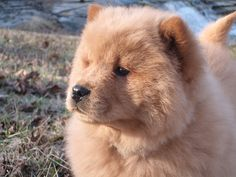 chow chow puppy, thsi is what my dog amber looked like as a puppy except with floppy ears