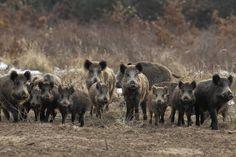 Photo about Wild boar herd on a clearing. Image of outdoor, omnivores, mammal - 18886618 Wild Boar, Spirit Animal, Farm Animals, Mammals, Royalty Free Stock Photos, Outdoor, Simon Garfunkel, Vectors, Dj