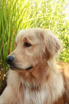Love that raised-eyebrow look Goldens have!