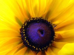 Google Image Result for http://ferenc.biz/pictures/beautiful-sunflower-purple-center.jpg