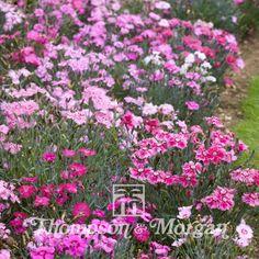 Dianthus Plumarius Sweetness Mixed