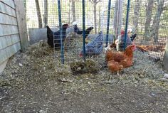 Composting IN the Chicken Run, YES In the RUN!!! Why you should!!! great site!!
