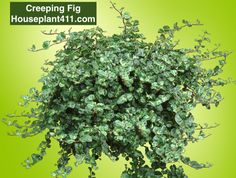 Small Artificial Plants, Artificial Plant Wall, Artificial Flowers, Water Plants, Garden Plants, Indoor Plants Low Light, Indoor Tropical Plants, Ficus Pumila, Outdoor Pictures