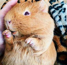 ticklish guinea pig