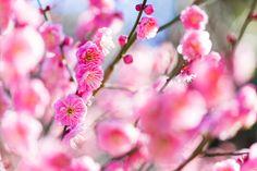 *-*Photo Vivid early flowering of red plum by Akihiro Satoh on 500px