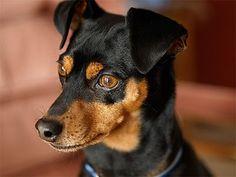 Miniature Pinscher / zwergpinscher / min-pin / King of the Toys Mini Pinscher, Doberman Pinscher Puppy, Miniature Pinscher, Chihuahua Dogs, Dogs And Puppies, Doggies, Chihuahuas, Animals And Pets, Cute Animals