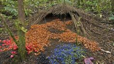 bower bird nests - Google'da Ara