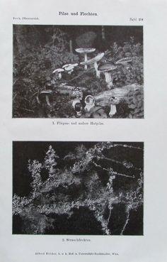 PILZE UND FLECHTEN 1916 Botanik - Alter Druck Antique Print Antique Prints, Alter, Art Prints, Antiques, Painting, Ebay, Planting Flowers, Braid, Mushrooms