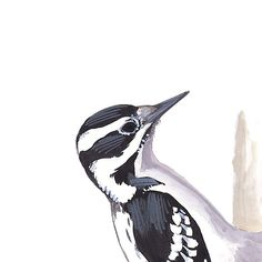 Hairy Woodpecker, female. Painted and © by David Sibley