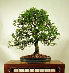 Chinese Elm from Robert Kempinski's Bonsai Gallery