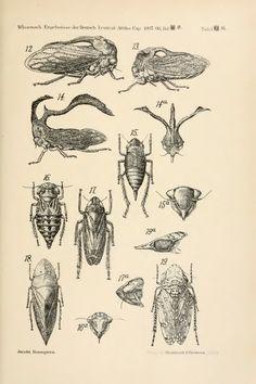Homoptera - BioStor
