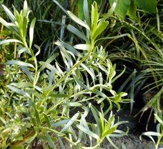Leucadendron meridianum 'More Silver' 1