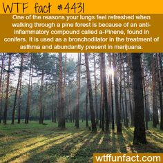 Why your lungs feel refreshed when walking through pine forest -   WTF fun facts