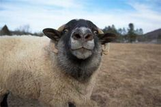 28 Best Supreme Sheep images in 2015 | Sheep, The wooly, Animals