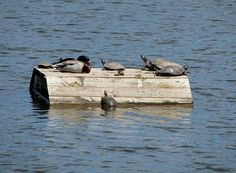 Mallard Duck And Turtles Basking In The Sun Print by Keith Stokes