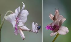 In Lessy Sebastian's photos, the orchid mantis is shown leaping on a passing green bottle fly, pictured, before trapping it in its vice-like grip and devouring it in minutes.