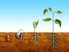 Illustration about The germination process for a bean plant. Illustration of germination, embryo, root - 8456410 Hydroponic Gardening, Hydroponics, Container Gardening, Plant Lessons, Preschool Garden, Bean Plant, Seed Germination, Vides, Plant Science