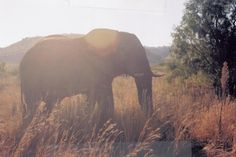 Elephants in general (this one's in South Africa)