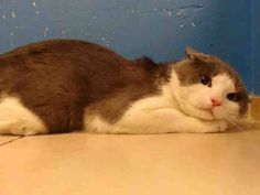 TO BE DESTROYED 11/5/13 Brooklyn Center  My name is CATMAN. My Animal ID # is A0983619. I am a male gray and white domestic sh mix. The shelter thinks I am about 2 YEARS old.  I came in the shelter as a OWNER SUR on 10/30/2013 from NY 11226, owner surrender reason stated was NEW BABY. Gorgeous and scared. POS gives him up because of new baby! Fuckers! https://www.facebook.com/photo.php?fbid=692572324087936&set=a.576546742357162.1073741827.155925874419253&type=3&theater