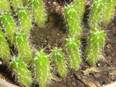 1 Live Seedling Trichocereus Peruvianus x Juul's Giant San Pedro Cactus Hybrid | eBay