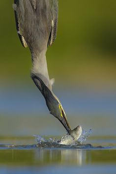 Diving bird Fast action photography of a Heron catching a fish Wild Animals Photography, Action Photography, Wildlife Photography, Photography Portraits, Pretty Birds, Beautiful Birds, Animal Action, Tier Fotos, Big Bird