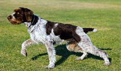 Everything you want to know about German Wirehaired Pointers including grooming, training, health problems, history, adoption, finding a good breeder and more.