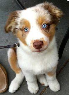 australian shepherd red merle blue eyes - Google Search