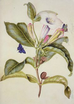Sibylla Merian Maria Sibylla Merian April 1647 – 13 January Sibylla is a female given name. It may refer to: Sibylla might be too: Science Illustration, Plant Illustration, Botanical Illustration, Vintage Botanical Prints, Botanical Drawings, Botanical Flowers, Botanical Art, Sibylla Merian, Illustration Botanique