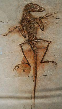 "Réplique de Sinornithosaurus, surnommé ""Dave"", NGMC 91, American Museum of Natural History, New York. Dinosauria, Saurischia, Theropoda, Coelurosauria, Maniraptora, Deinonychosauria, Dromaeosauridae. Auteur : Dinoguy2."
