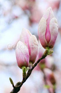 Billede af 'Big blomsterknopper, af magnolia - træ ( om blomstre træet baggrund) Composite makro billede med stor dybde skarphed'