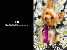 The cutest little Yorkie ever. Mini Yorkie, Cute Puppies, Cute Dogs, Miniature Dog Breeds, Tinkerbell And Friends, Yorkshire Terriers, Yorkies, Four Legged, Make Me Smile