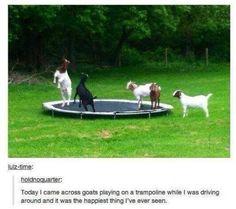 Goats..