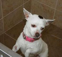 Bella is an #adoptable Chihuahua Dog in #Duluth, #MINNESOTA. AVAILABLE AT ANIMAL ALLIES DULUTH Bella is a beautiful 4 year old Chihuahua. This lovely lady is friendly and playful. She is reported to get along w...
