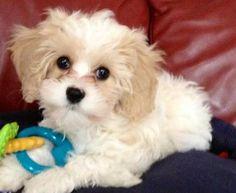 Cavashon puppie 10 weeks! King Charles cavalier plus a