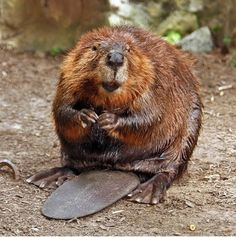 American Beaver - Beavers have a dense, dark brown fur. Their feet are webbed. Beavers are the largest of all rodents found in North America. They almost went completely extinct in the 1930s due to the fur trapping industry. Their predators include foxes, coyotes, wolves, lynxes, otters, weasels, and large birds of prey.