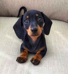 ✔ Please doubletab and tag a Friend below Want original Dachshund designs?👉 TAP the link in my bio to find it! Photo by:… Dachshund Funny, Dachshund Puppies, Weenie Dogs, Dachshund Love, Cute Dogs And Puppies, Cute Funny Animals, Cute Baby Animals, Animals Dog, Yorkie Dogs