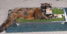 Indoor Cat Lawn!